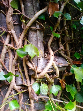 Ivy grown onto the walls.